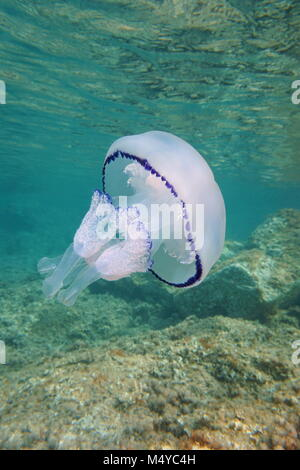 A barrel jellyfish Rhizostoma pulmo underwater between the surface and rocks in the Mediterranean sea, Catalonia, - Stock Photo