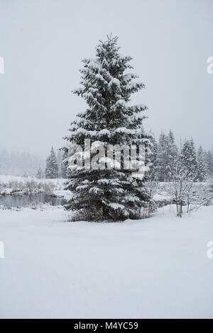 A snow frosted Douglas fir tree, standing alone along a marshy area of Bull River during a snow storm, in the Cabinet - Stock Photo
