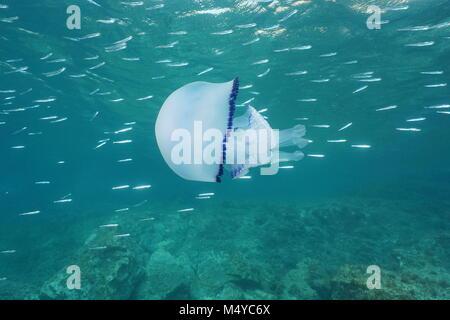 Jellyfish underwater a Mediterranean jelly Cotylorhiza tuberculata with small fish, Calabira, Italy - Stock Photo
