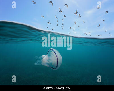 Mediterranean gulls flying in the sky with a barrel jellyfish underwater, split view above and below water surface, - Stock Photo