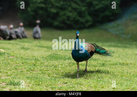 Peacock displays vivid blue color on green grass - Stock Photo
