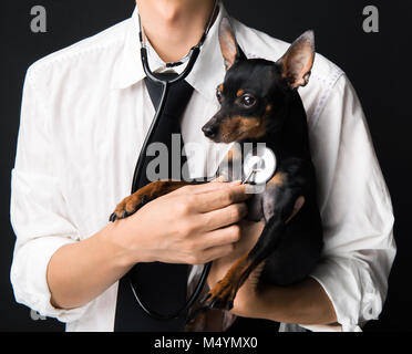 Veterinarian doctor examining a miniature-pinscher puppy with a stethoscope - Stock Photo