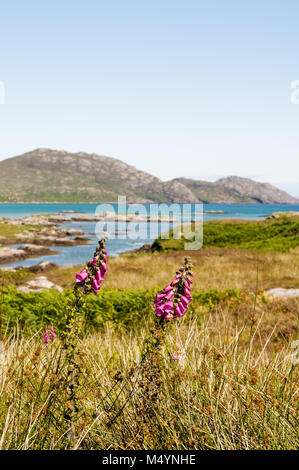 View of South Glendale hills across the grasslands and with foxglove flowers on the Isle of South Uist, Outer Hebrides, - Stock Photo