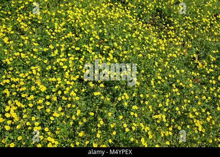 Mecardonia Golddust - Stock Photo