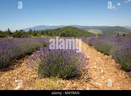 Lavender field near Salt and Mont Ventoux in the background. Provence, France - Stock Photo