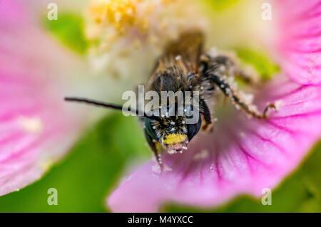 bee and blossom III super macro - Stock Photo