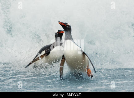 Gentoo penguins coming on shore from a stormy Atlantic ocean, Falkland islands. - Stock Photo