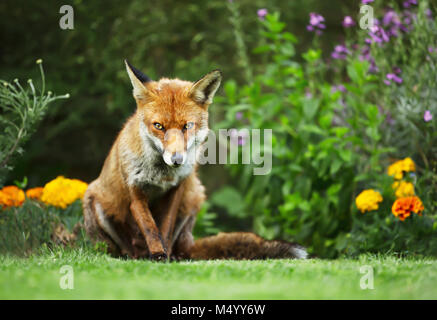Close-up of a Red fox standing in the garden with flowers, summer in UK. - Stock Photo
