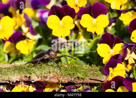 Stag beetle (Lucanidae) on a mossy wood among violet flowers in the garden, UK. - Stock Photo