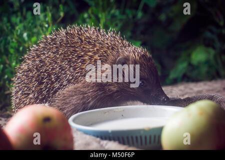 animals, barbed, beasts, cute animals, drinking milk,hedgehog, mammal, wildlife, nature - Stock Photo