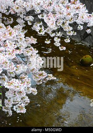 Sakura Flowers / Cherry Blossom beside water pond or lake in Japan - Stock Photo
