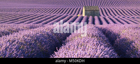 Panoramic view of lavender fields in Valensole with stone house in Summer. Alpes de Haute Provence, PACA Region, - Stock Photo