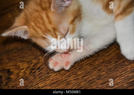 A ginger and white kitten licking its paw - Stock Photo