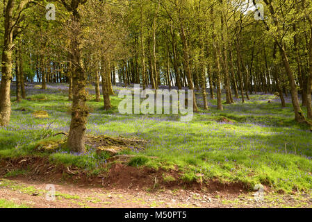 Bluebell Wood, Hyacinthoides non-scripta - Stock Photo
