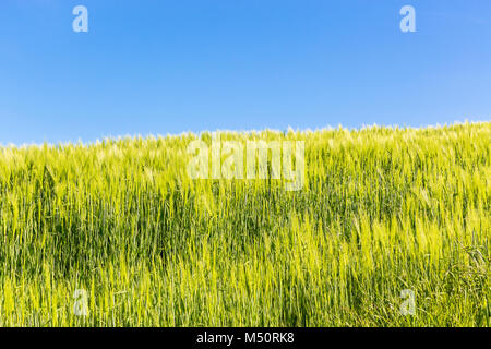 Cornfield in the summer with blue sky - Stock Photo