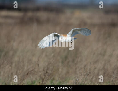 Barn Owl, Tyto alba, in flight, hunting in meadow, in Lancashire, UK - Stock Photo
