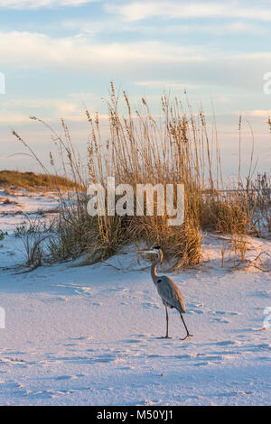 A great blue heron walks on Fort Pickens Beach in the Gulf Islands National Seashore, Florida. - Stock Photo