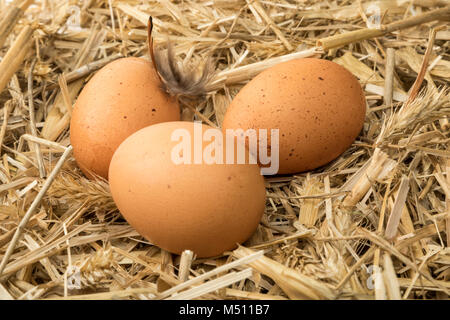 Brown eggs on straw in chicken coop - Stock Photo