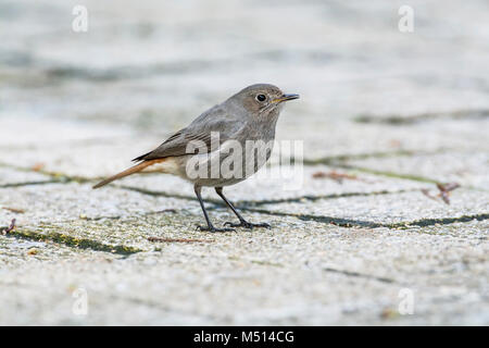 Female black redstart (Phoenicurus ochruros) in an urban setting in a town centre - Stock Photo