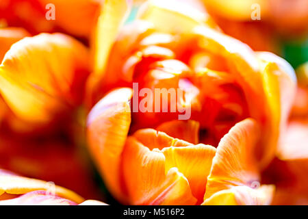 Bunch of tulips - red and yellow; Tulpenstrauß - rot und gelb - Stock Photo
