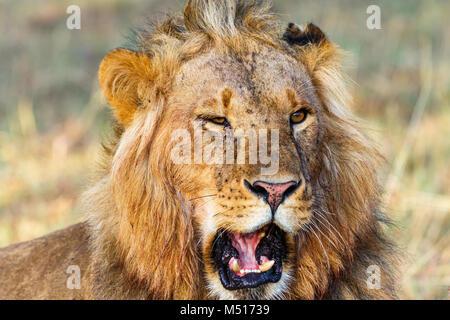 Portrait of a male lion that roars - Stock Photo