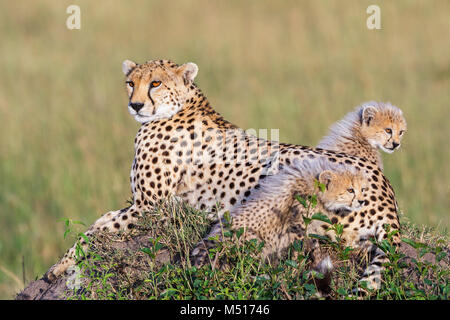 Cheetah cubs with their mother on the African savanna - Stock Photo
