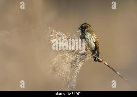 Common reed bunting (Emberiza schoeniclus) - Stock Photo