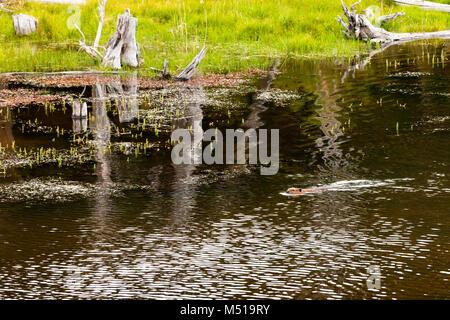 beaver national park tierra del fuego patagonia - Stock Photo