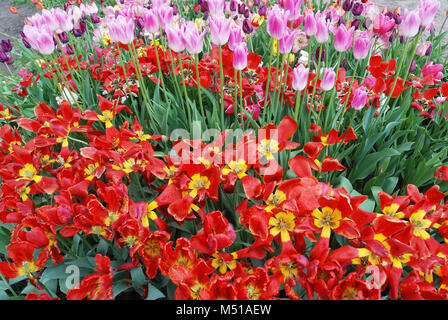 colorful tulips in the garden - Stock Photo