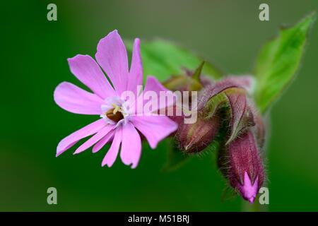 Macro shot of a red campion flower (silene dioica) - Stock Photo