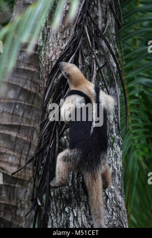 Northern Tamandua anteater Corcovado National Park Osa Peninsula - Stock Photo
