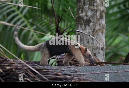 Northern Tamandua anteater Corcovado National Park Osa Peninsula - Stock Photo