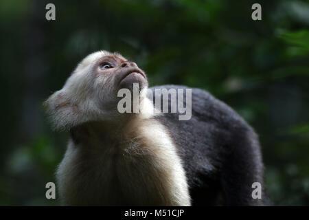 White Face Monkey Osa Peninsula Costa Rica - Stock Photo