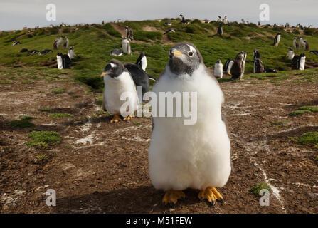 Close up of a Gentoo penguin (Pygoscelis papua) chick, Falkland islands. - Stock Photo