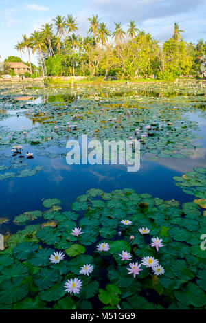 Water lillies on the incorrectly named 'Lotus Pond' after sunrise, Candidasa,, Bali, Indonesia. - Stock Photo