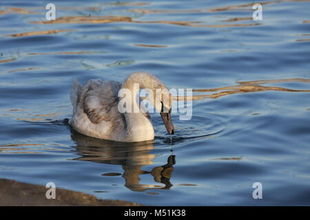 Swan swimming in a water and looking for a food under the water. - Stock Photo