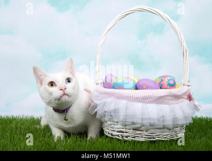 White kitten with heterochromia wearing a purple collar with bell crouched in green grass next to white basket full - Stock Photo