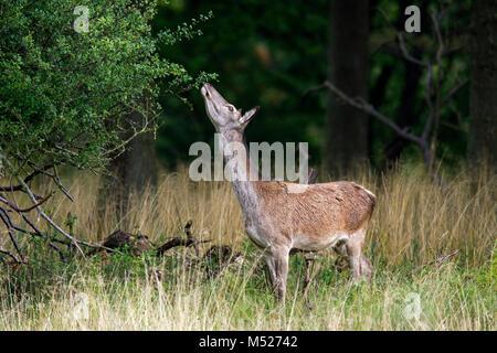 Red deer (Cervus elaphus) hind / female nibbling on leaves of shrub in forest - Stock Photo