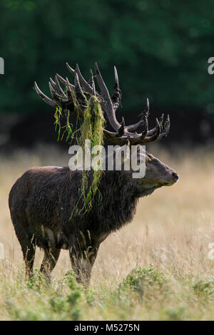 Red deer (Cervus elaphus) stag with antlers covered in mud and vegetation during the rut in autumn forest - Stock Photo