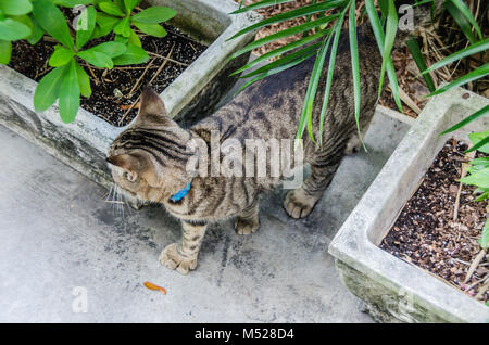 A descendent of the famous author's six-toed cat prowls the gardens of the Ernest Hemingway Home and Museum. The - Stock Photo