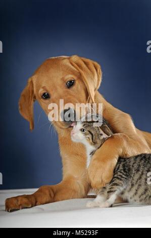 Labrador Retriever,yellow,puppy 9 weeks licking kitten,mackerel,8 weeks - Stock Photo