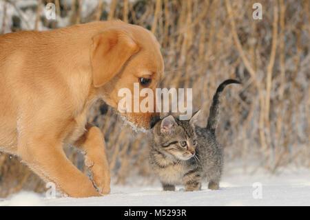 Labrador Retriever,yellow,puppy 9 weeks sniffing 8 weeks old tabby mackerel kitten - Stock Photo