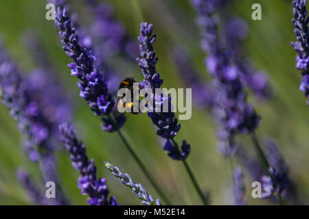 Lavender Field Provence Bee Close Up Bokeh Blurred - Stock Photo