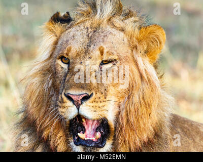 Close up of a lion male with open mouth - Stock Photo