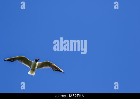 Black-headed gull in the sky - Stock Photo