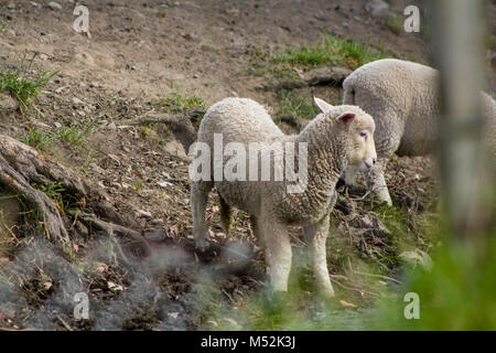 Sheep on the north island of New Zealand - Stock Photo