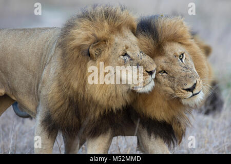Two adult male lions (Panthera leo) face rubbing to greet - Stock Photo
