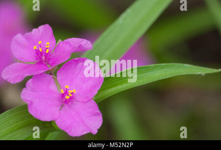 Lavender Spiderwort Flowers - Stock Photo
