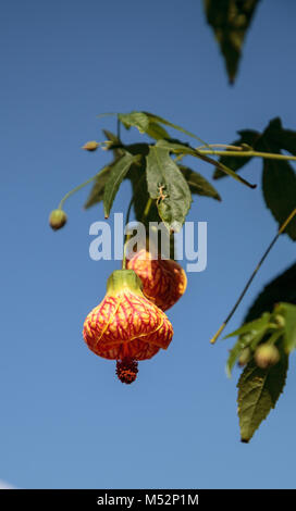 Red and yellow flower on a Chinese lantern flower - Stock Photo