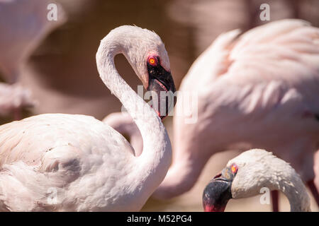 Pink lesser flamingo, Phoeniconaias minor - Stock Photo